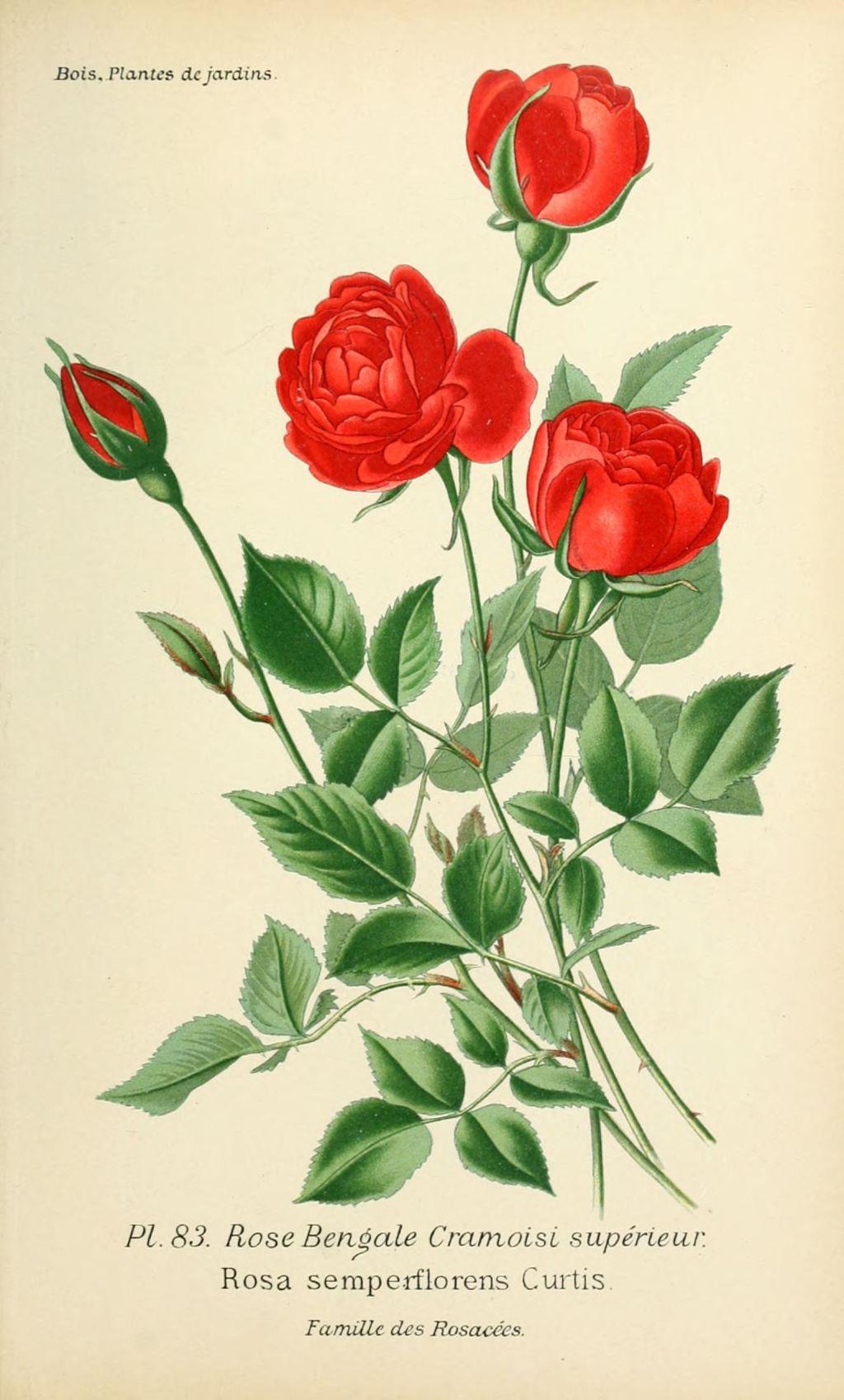 Gravures de roses informations et documents - Roses dessins ...