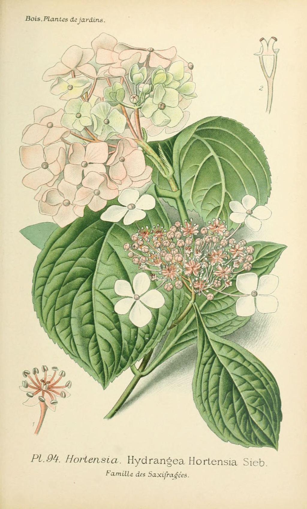 Gravures Fleurs De Jardin Gravure De Fleur De Jardin 0191