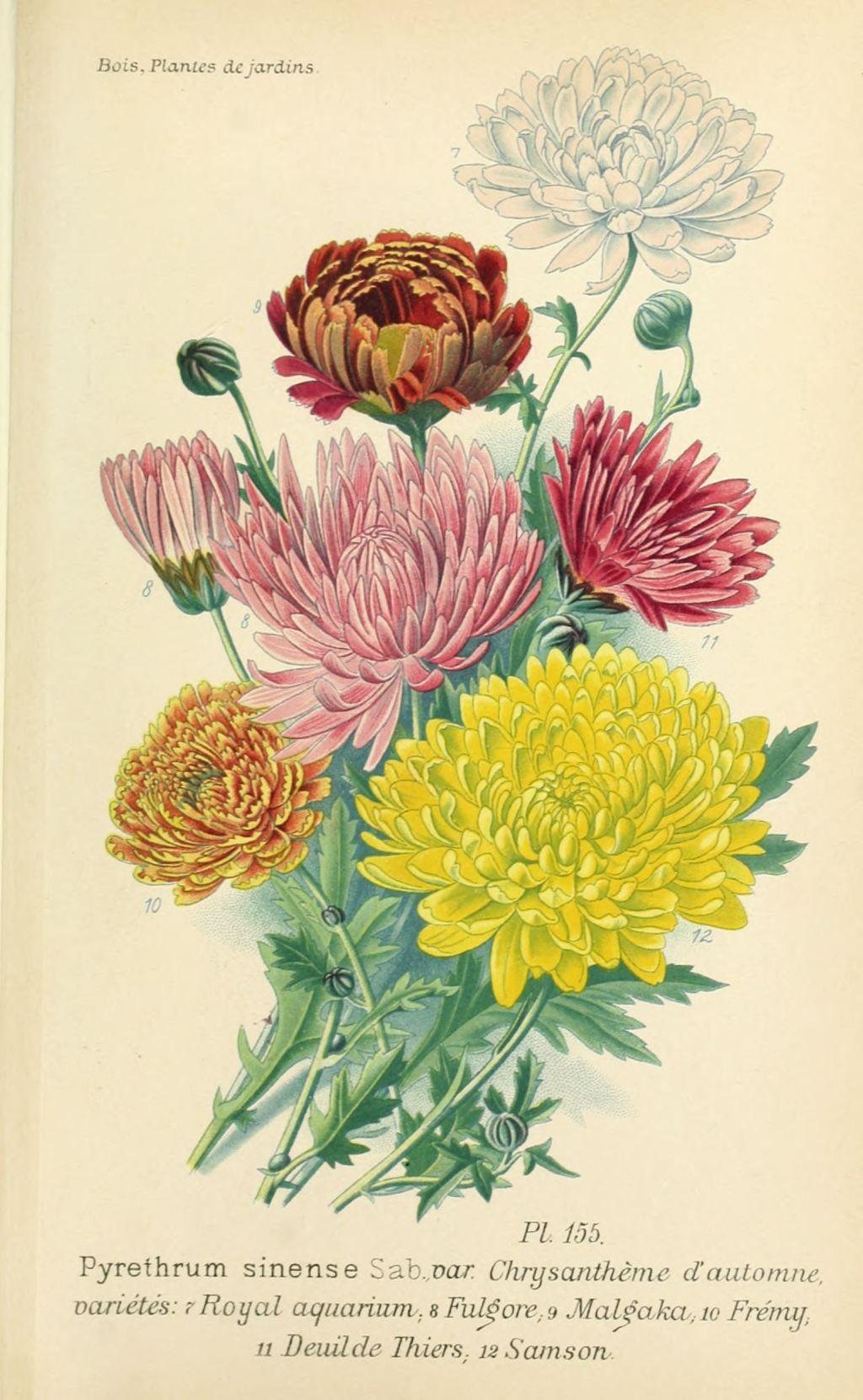 gravures fleurs de jardin - gravure de fleur de jardin 0313 ...
