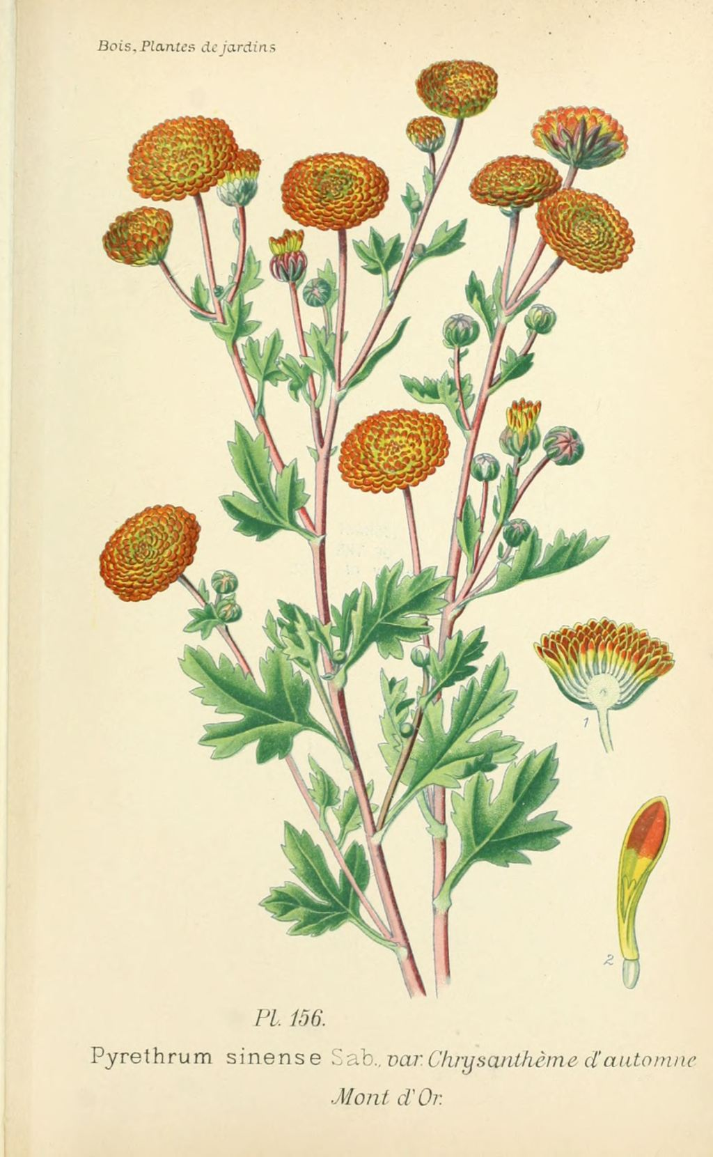 gravures fleurs de jardin - gravure de fleur de jardin 0315 ...