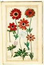 gravures_fleurs_jardin_Henri_IV_-_anemones_et_renoncules.jpg
