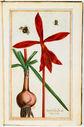 gravures_fleurs_jardin_Henri_IV_-_fleur_et_bulbe_de_narcisse-_Narcissus_Indicus_flore_rubro_vulgo_Jacobeus.jpg