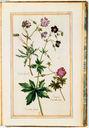 gravures_fleurs_jardin_Henri_IV_-_geraniums-Geranium_tuberosu__Geranium_fuscum__Geranium_Batrocoides_minus.jpg