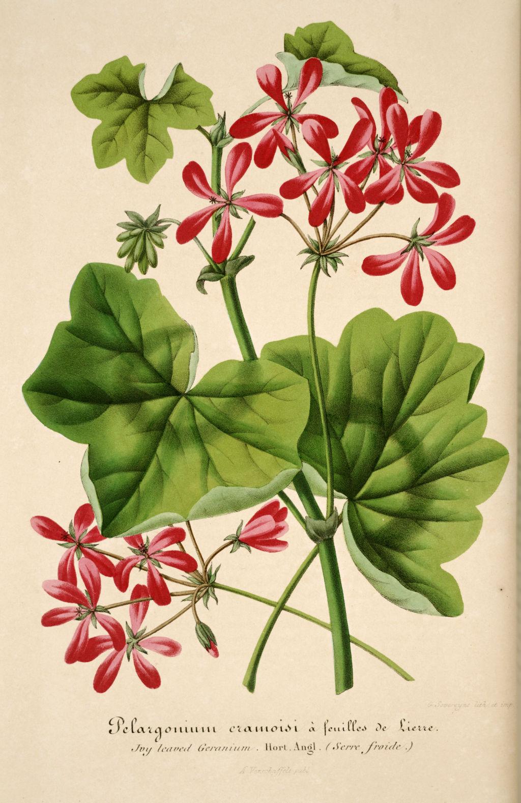 Gravures fleurs plantes ornement gravures fleurs et plantes ornement 1077 geranium feuille for Fleurs et plantes