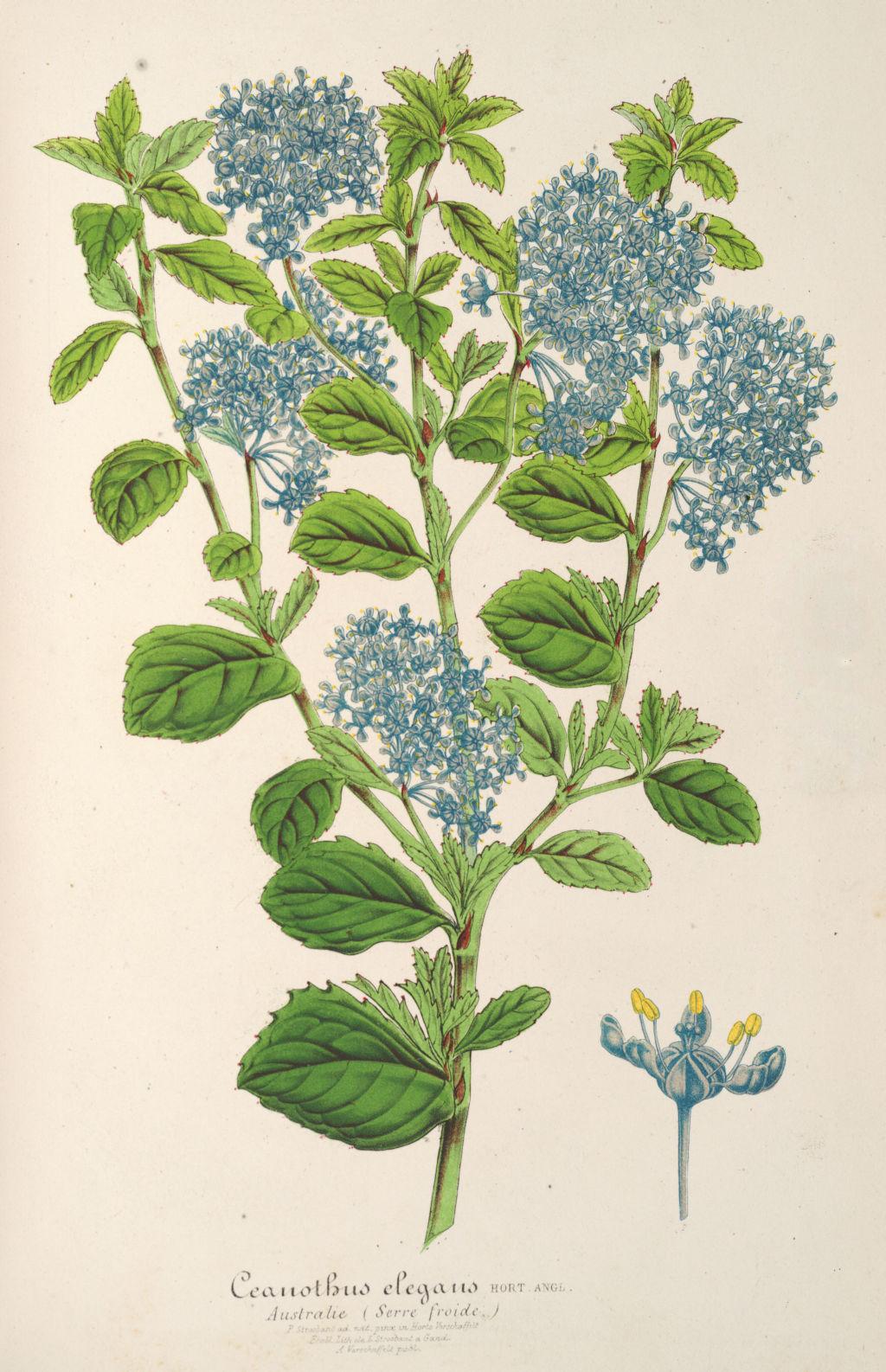 Gravures fleurs plantes ornement gravures fleurs et plantes ornement 7245 ceanothus elegans for Fleurs et plantes