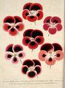 Gravures_fleurs_et_plantes_ornement_-_1132_nouvelles_varietes_de_geraniums_-_miellez_van_houttei_roi_des_pourpres_scaramouche.jpg
