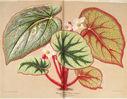 Gravures_fleurs_et_plantes_ornement_-_5035_begonia_madame_wagner_-_semis_serre_chaude.jpg