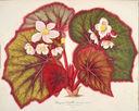 Gravures_fleurs_et_plantes_ornement_-_6045_begonia_leopoldi_-_semis_gand_serre_chaude.jpg