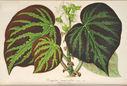 Gravures_fleurs_et_plantes_ornement_-_8032_begonia_imperialis_-_mexique_serre_chaude.jpg