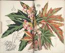 Gravures_fleurs_et_plantes_ornement_-_8223_begonia_longipila.jpg