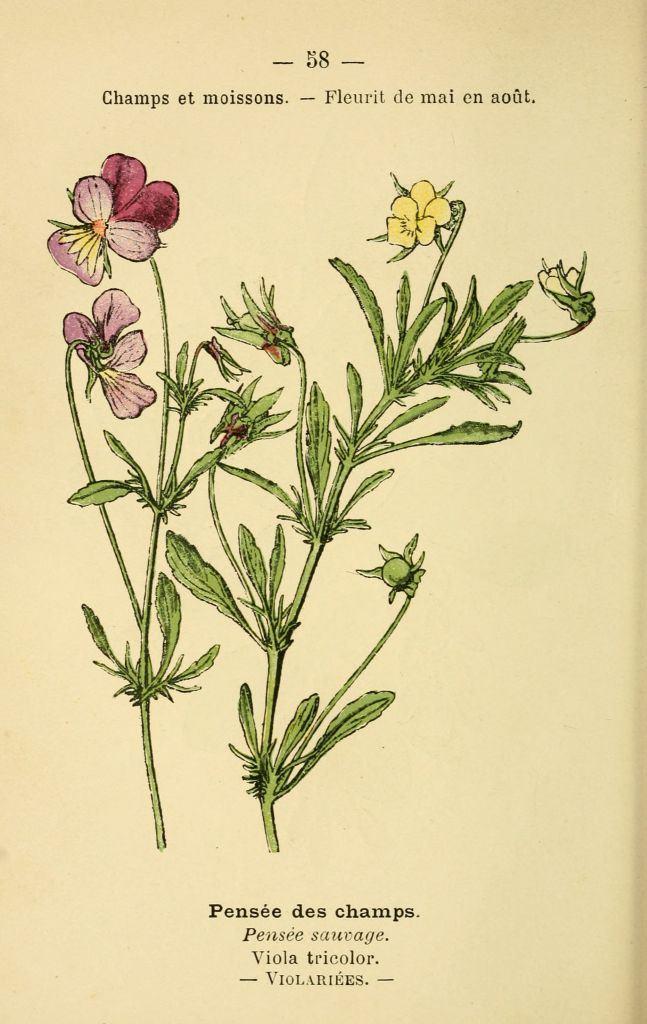 gravures fleurs prairies champs bois , pensee des champs , viola tricolor ,  pensee sauvage