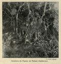 Illustrations_Histoire_naturelle_des_Plantes_024_Soudures_du_Figuier_de_Palmer_en_Californie.jpg