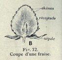 Illustrations_Histoire_naturelle_des_Plantes_058_Coupe_d_une_Fraise.jpg