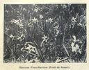Illustrations_Histoire_naturelle_des_Plantes_180_Narcisse_Faux-Narcisse_-Foret_de_Senart-.jpg