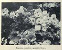 Illustrations_Histoire_naturelle_des_Plantes_206_Begonias_ondules_a_grandes_fleurs.jpg