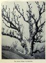 Illustrations_Histoire_naturelle_des_Plantes_210_Un_vieux_Frene_en_Kabylie.jpg