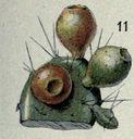 Illustrations_Histoire_naturelle_des_Plantes_271_Figue_de_Barbarie_ou_d_Inde.jpg