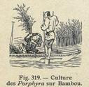 Illustrations_Histoire_naturelle_des_Plantes_340_Culture_des_Porphyra_sur_Bambou.jpg