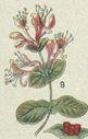 Illustrations_Histoire_naturelle_des_Plantes_345_Chevrefeuille_et_fruit.jpg