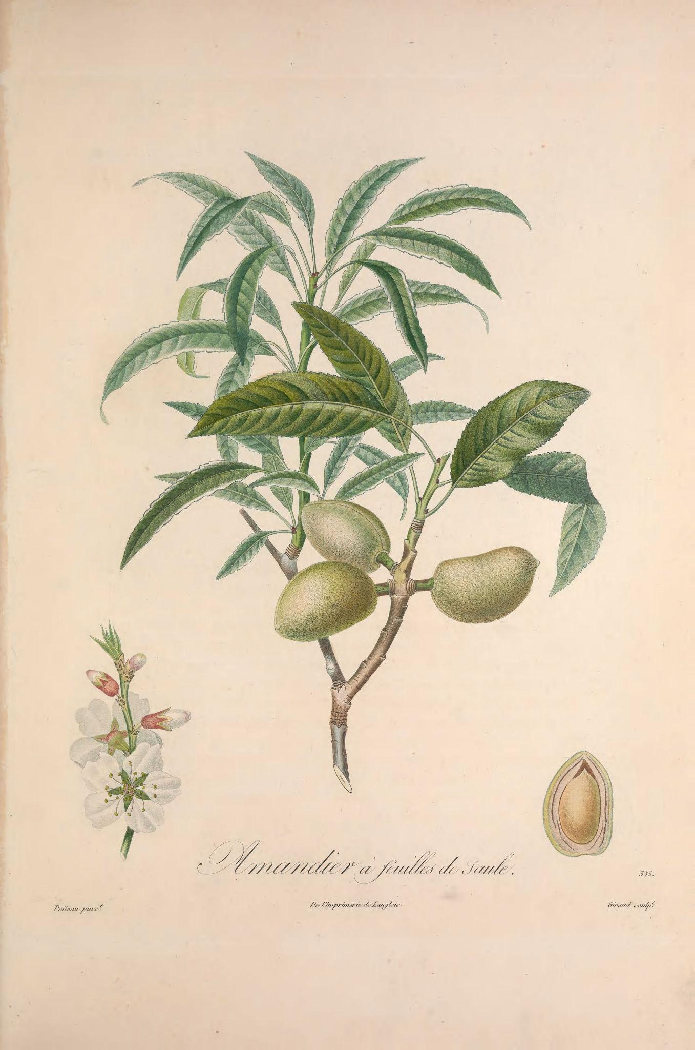 Gravures fruits gravures arbres fruitiers 105 amandier a feuilles de saule gravures - Fruit de l amandier ...