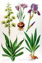 gravure_couleur_ancienne_de_fleur_-_Agave_americana_Crocus_sativus_Iris_germanica.jpg