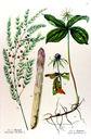 gravure_couleur_ancienne_de_fleur_-_Asparagus_officinalis_Paris_quadrifolius.jpg
