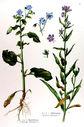 gravure_couleur_ancienne_de_fleur_-_Borrago_officinalis_Anchusa_officinalis.jpg