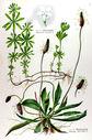 gravure_couleur_ancienne_de_fleur_-_Plantago_lanceolata_Asperula_odorata.jpg