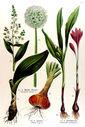 gravure_couleur_ancienne_de_fleur_-_Veratrum_album_Colchicum_autumnale_Allium_cepa.jpg