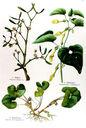 gravure_couleur_ancienne_de_fleur_-_Viscum_album_Asarum_europaeum_Aristolochia_clematitis.jpg