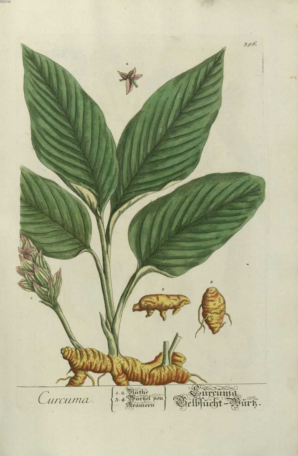 gravures anciennes de plantes medicinales gravure plante medicinale curcuma gravures. Black Bedroom Furniture Sets. Home Design Ideas