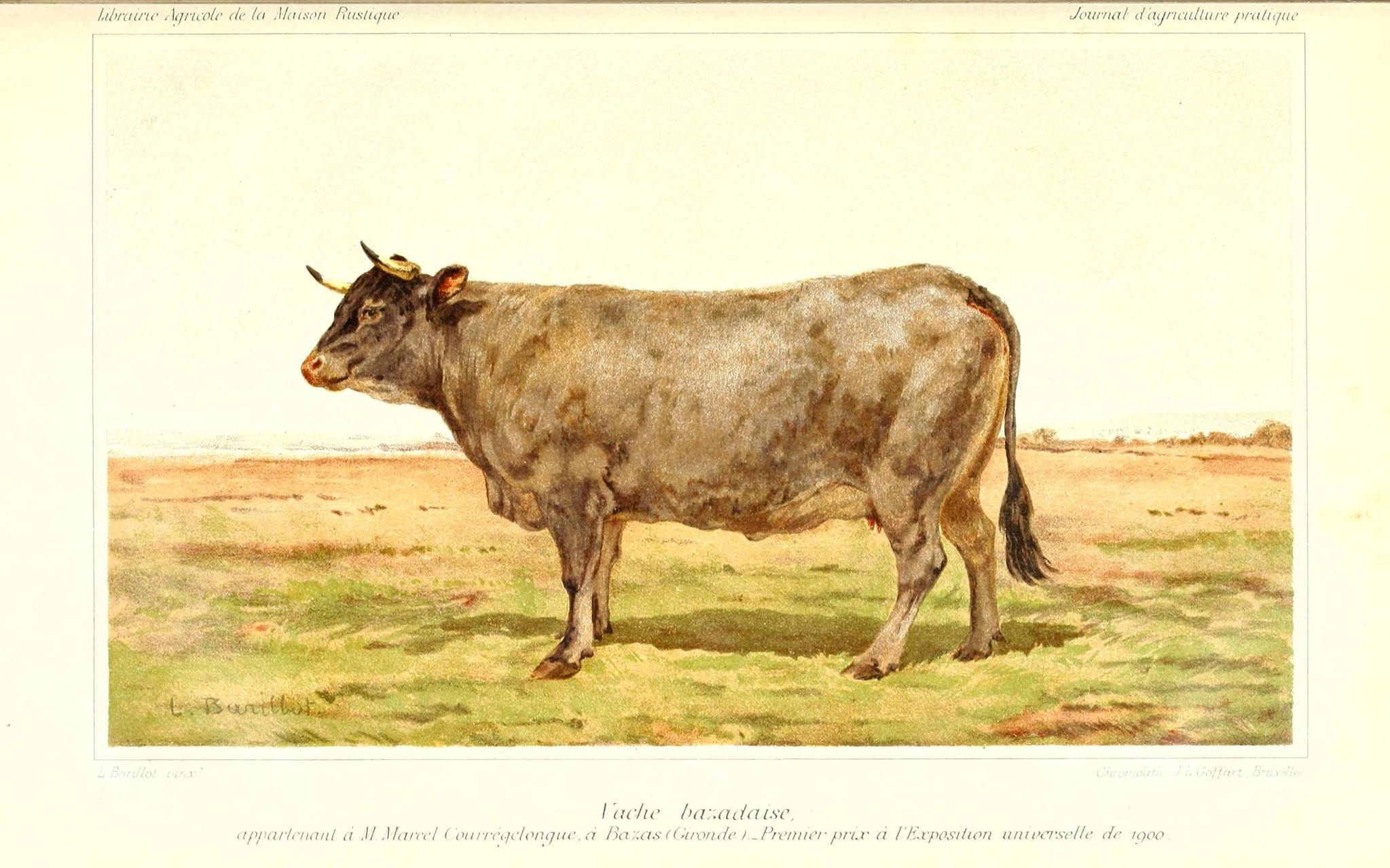 animal delevage - vache bazadaise 1er prix exposition universelle paris 1900
