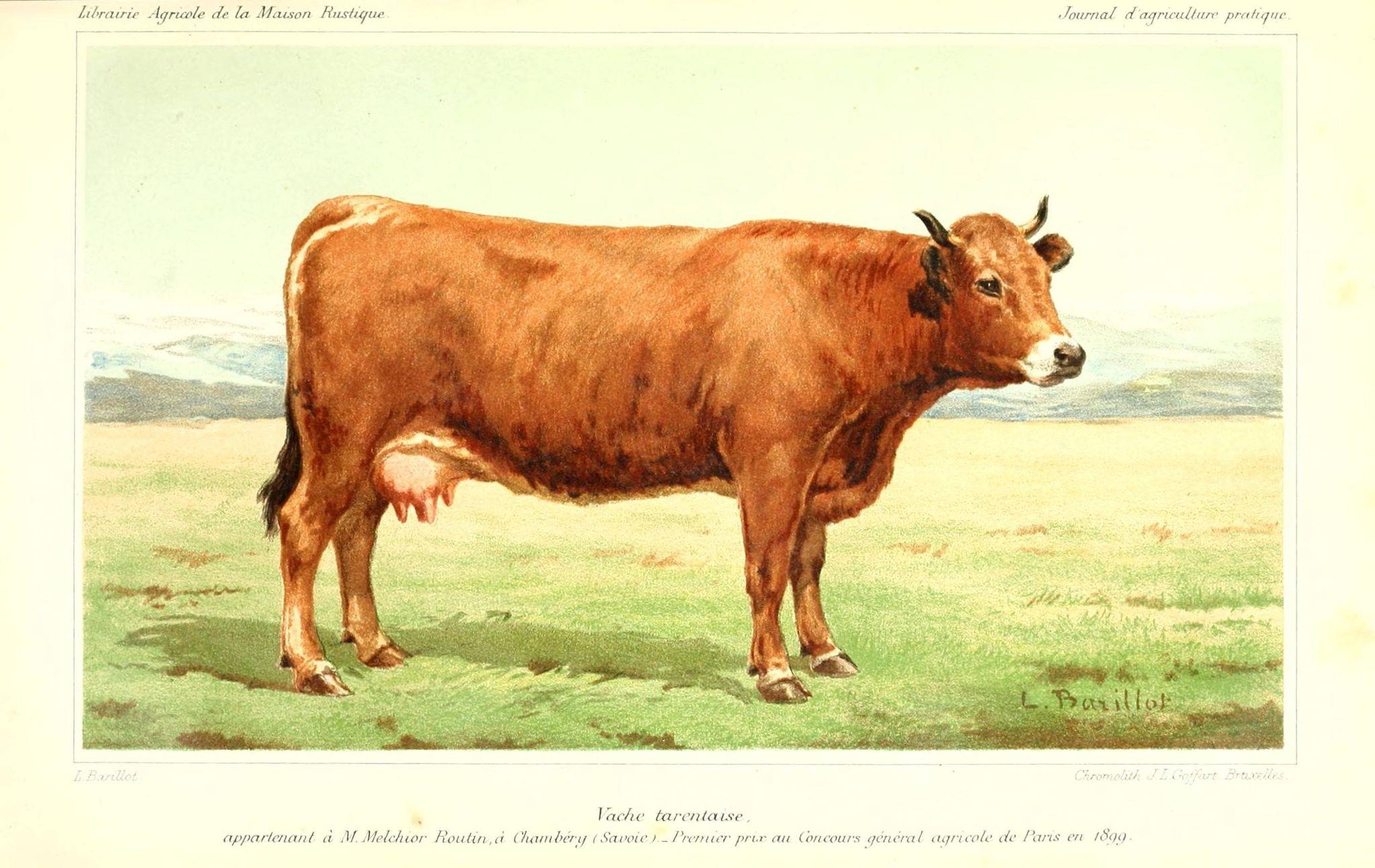 Dessins Ou Gravures De Vache Informations Et Documents