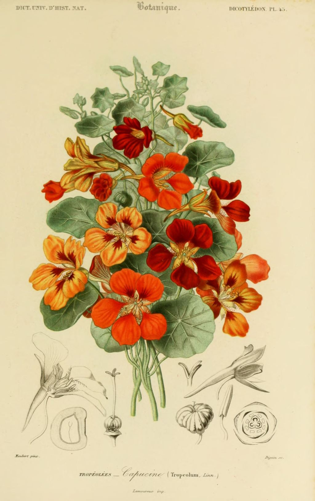 Gravures couleur de fleurs gravure de fleur 0141 capucine tropaeolum gravures - Coloriage fleur capucine ...