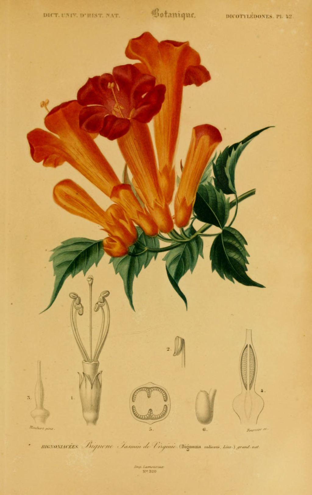 gravures couleur de fleurs - gravure de fleur 0193 bignone jasmin de