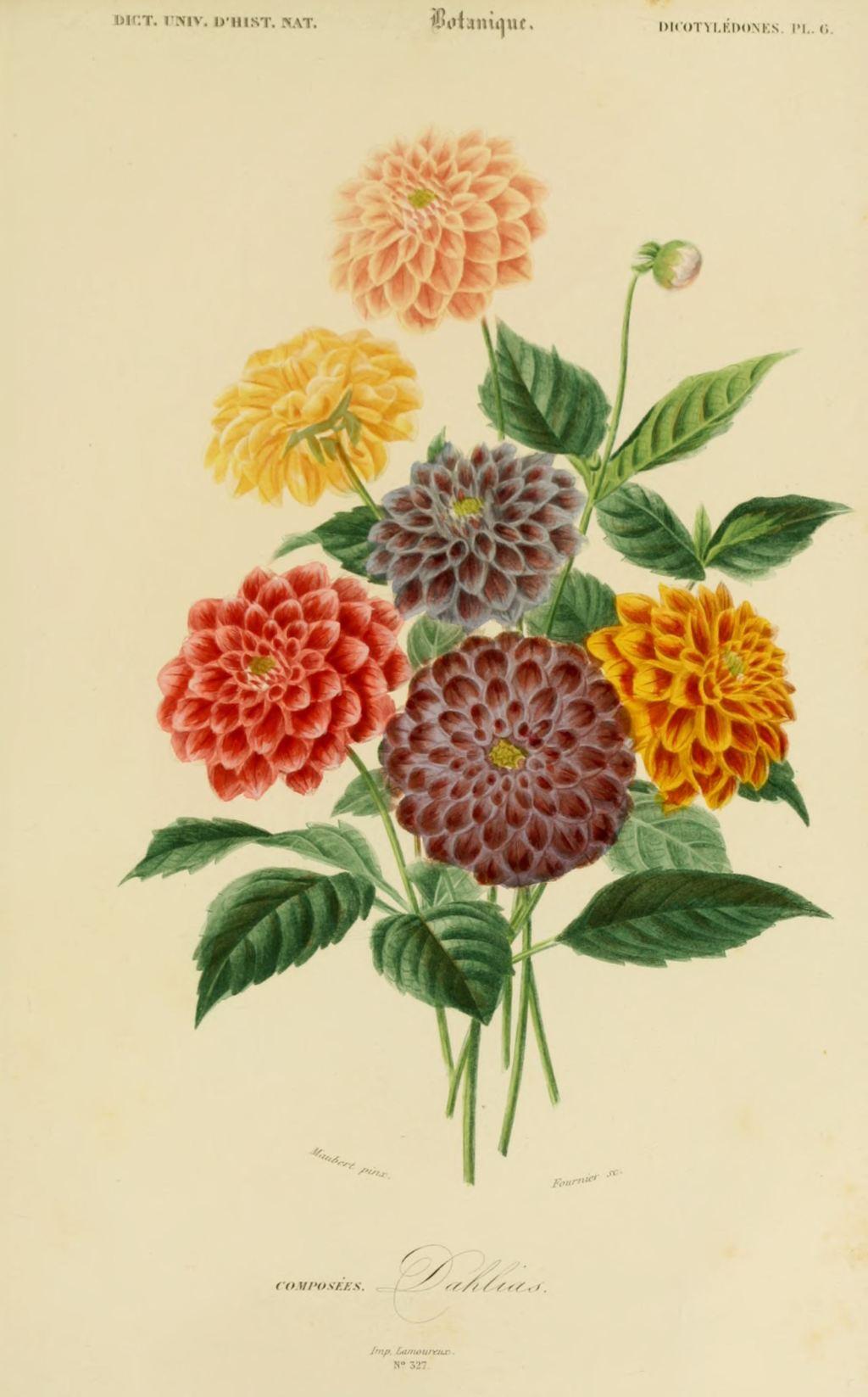 Gravures Couleur De Fleurs Gravure De Fleur 0207 Dahlias