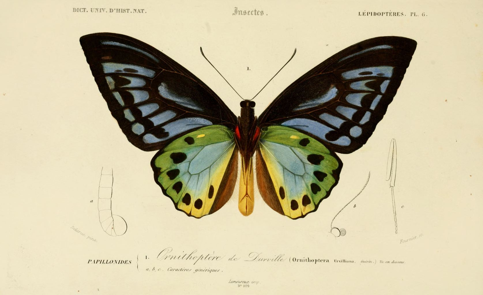 gravures couleur d 39 insectes dessin insectes 0173 papillon ornithoptere de durville. Black Bedroom Furniture Sets. Home Design Ideas