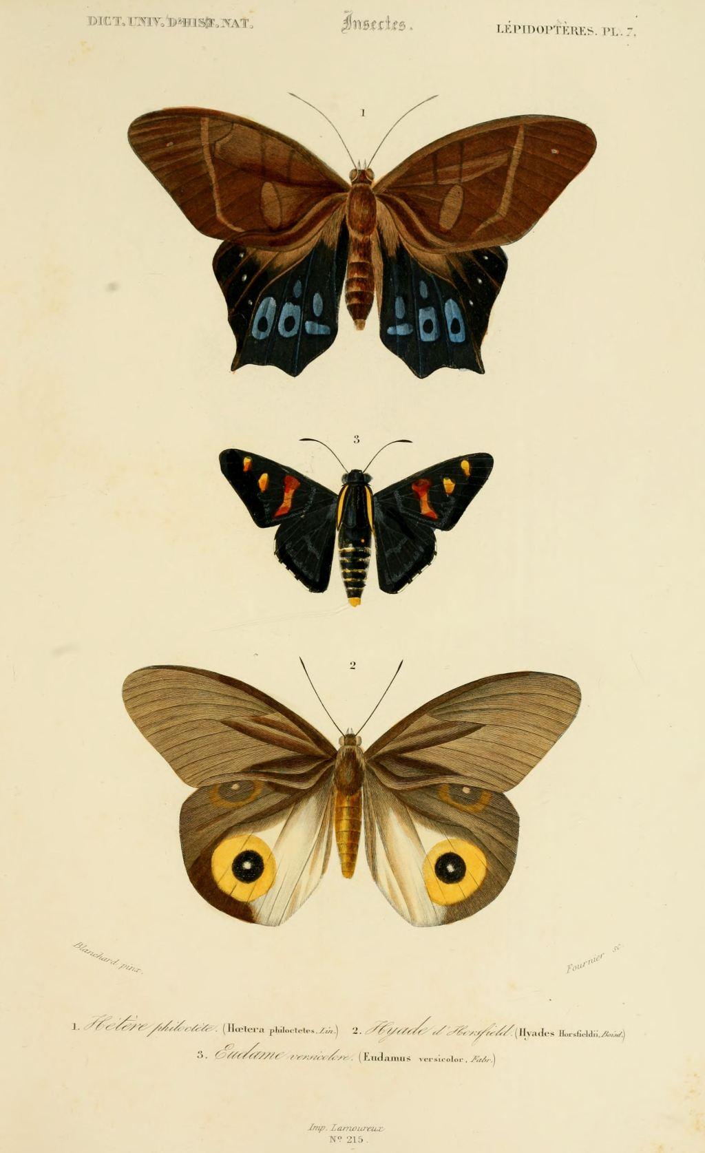 Gravures couleur d 39 insectes dessin insectes 0185 - Papillon dessin couleur ...
