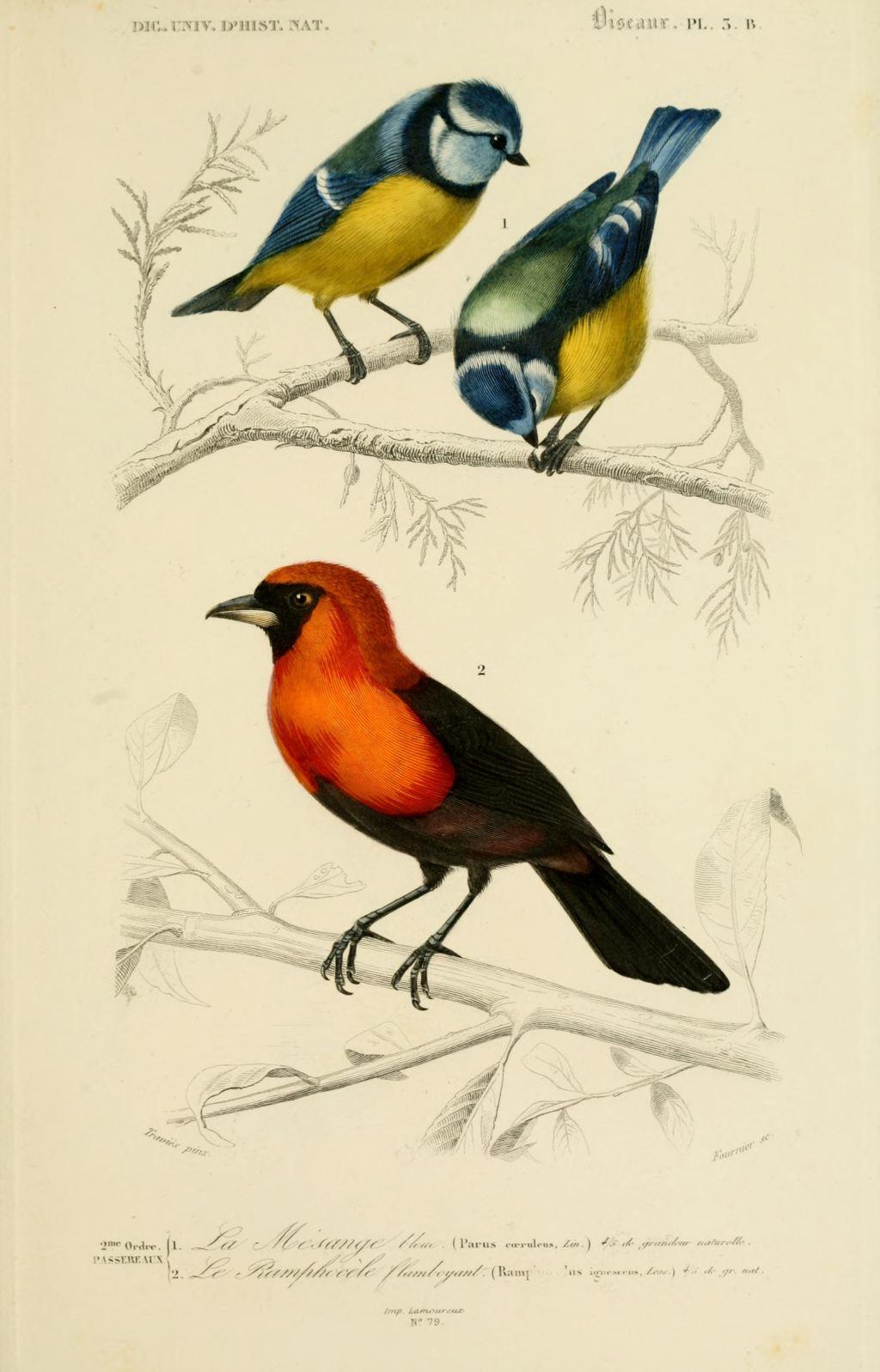 Gravures couleur d 39 oiseaux gravure oiseau 0187 mesange for Oiseau couleur