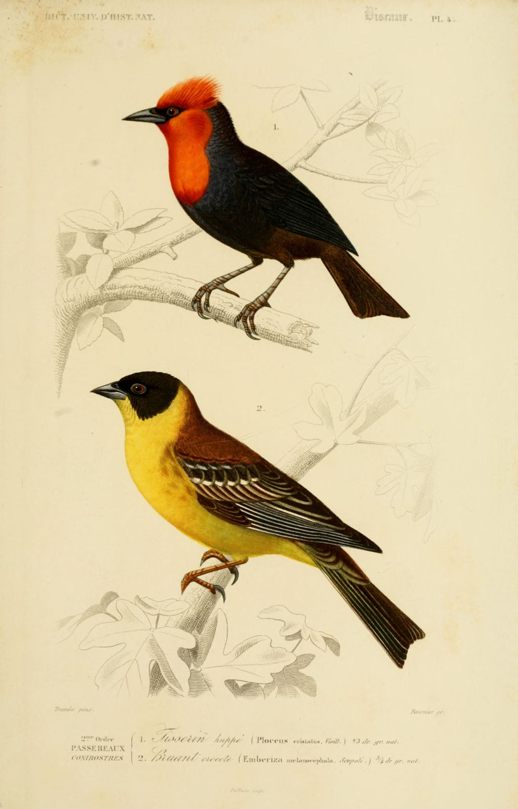 gravures couleur d 39 oiseaux gravure oiseau 0211 brunant crocote emberiza melanocephala. Black Bedroom Furniture Sets. Home Design Ideas