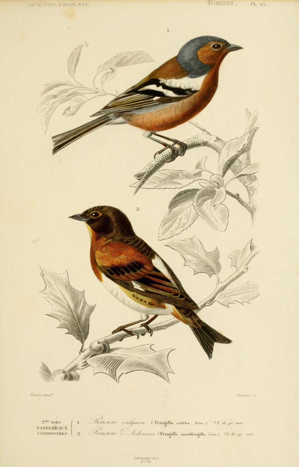Gravures couleur d 39 oiseaux gravure oiseau 0213 pinson d for Oiseau couleur