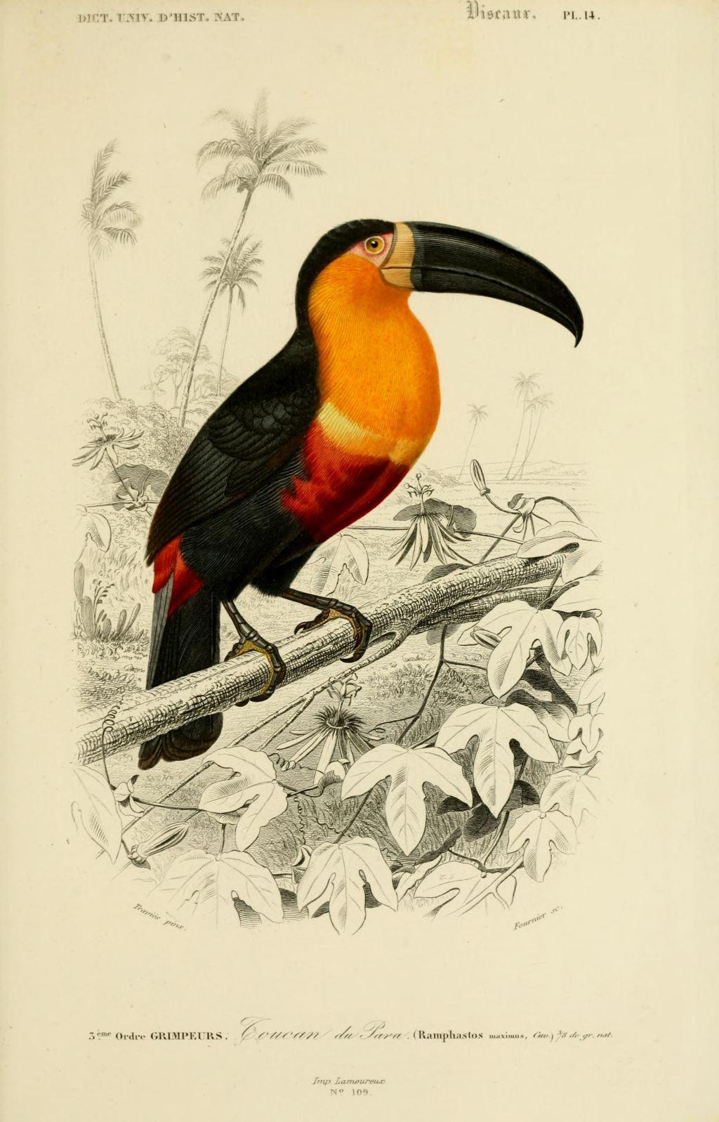 Gravures couleur d 39 oiseaux gravure oiseau 0247 toucan de for Oiseau couleur