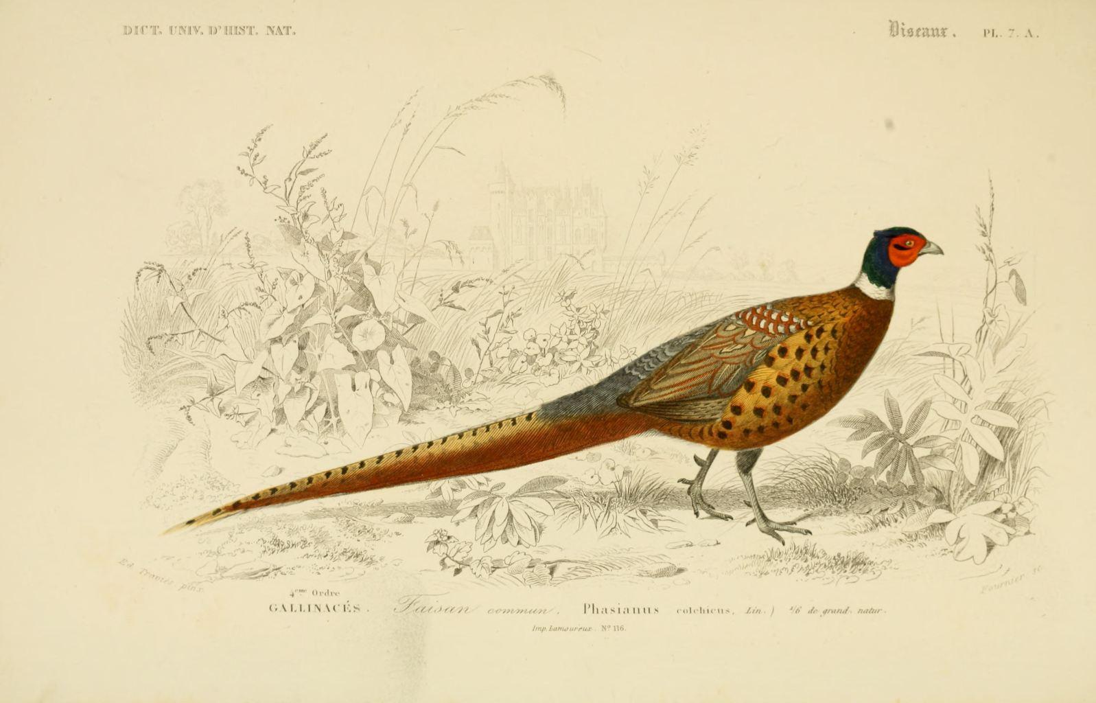 Gravures couleur d 39 oiseaux gravure oiseau 0261 faisan for Oiseau commun