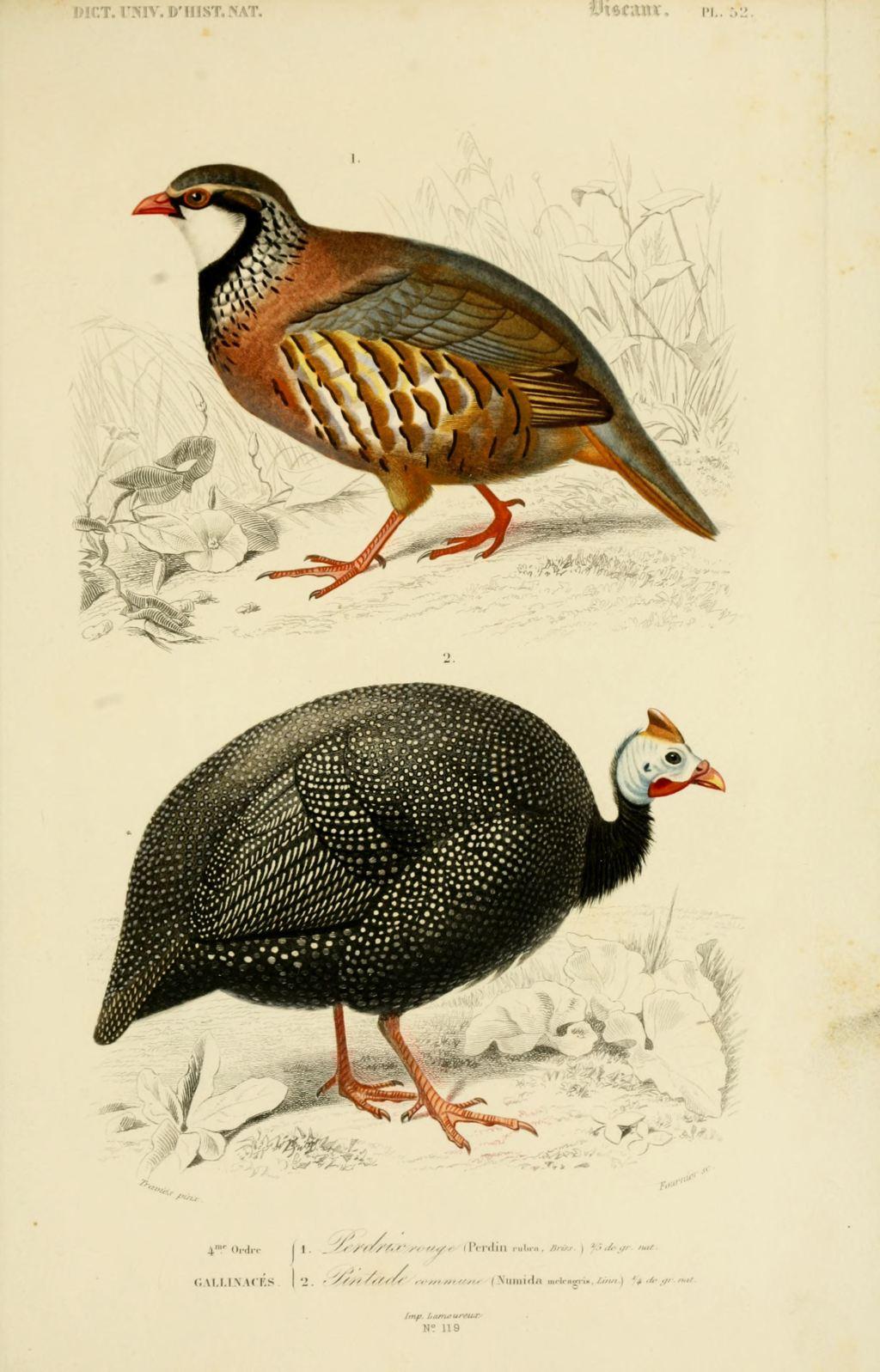 gravures couleur d 39 oiseaux gravure oiseau 0267 perdrix rouge perdin rubra gallinace. Black Bedroom Furniture Sets. Home Design Ideas