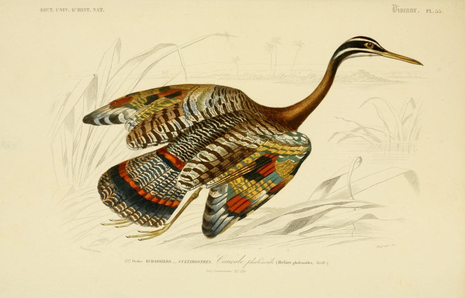 Gravures couleur d 39 oiseaux gravure oiseau 0287 caurale for Oiseau couleur