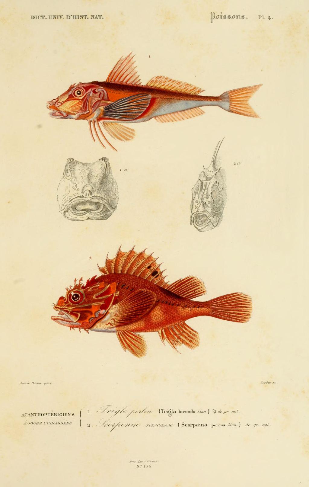 Gravures couleur de poissons dessin poisson 0083 trigle - Poisson dessin couleur ...