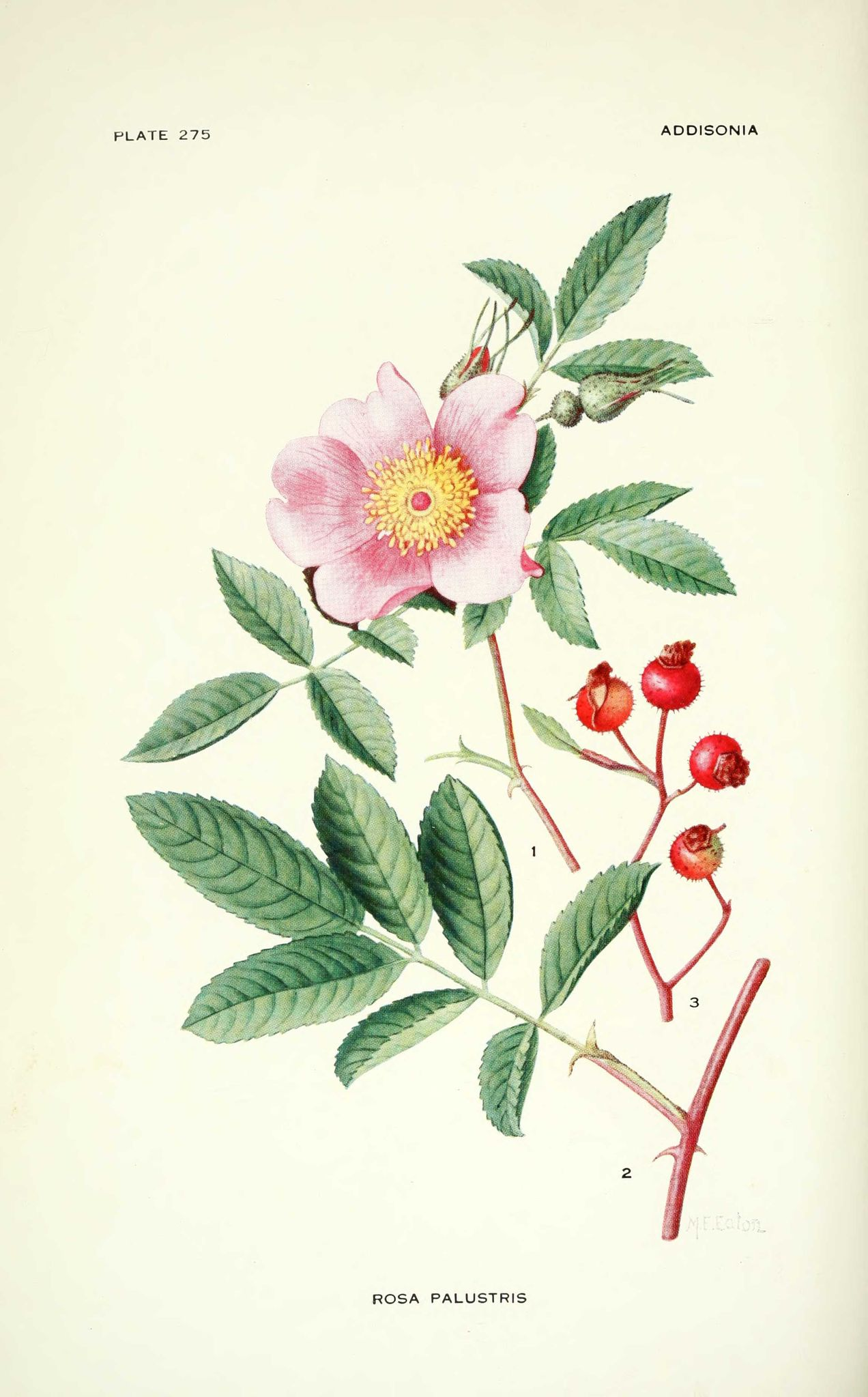 gravures fleurs Additiona - rosa palustris - rosier des marais