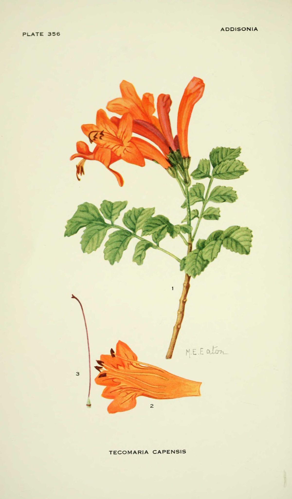 gravures de fleurs addisonia - gravures fleurs addisonia - tecomaria