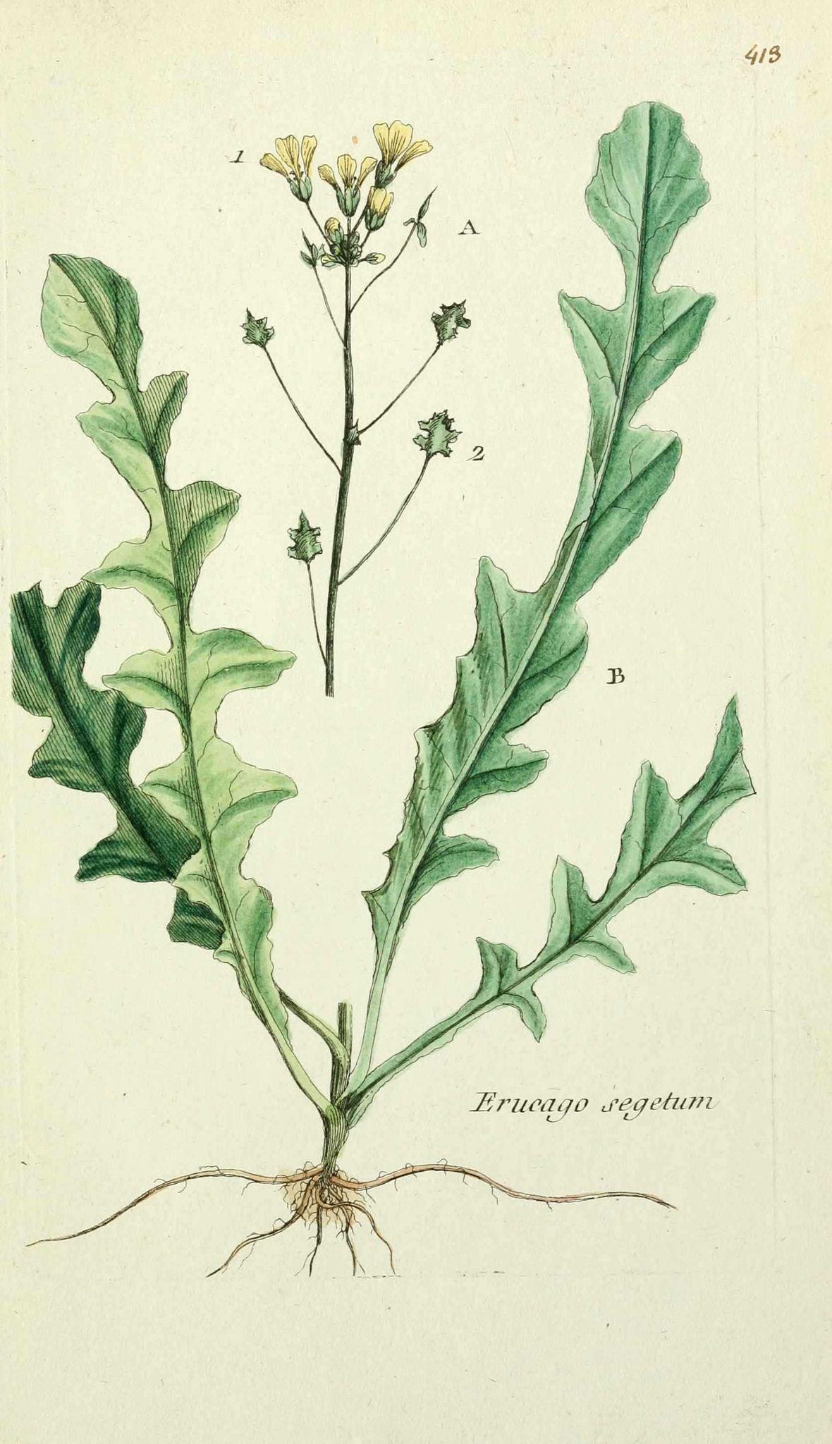 feuilles pennatilobées