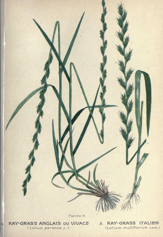 gravures plantes fourrageres - gravure de plante ...